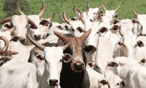 A alta no preço da carne faz Mato Grosso do Sul querer comprar 50 mil cabeças de gado do Paraguai